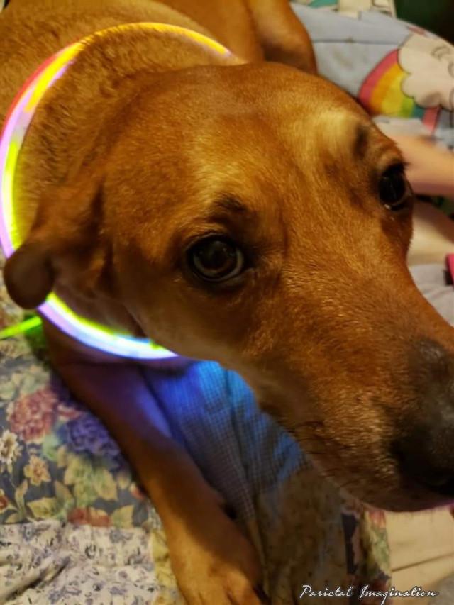 Photography by: Parietal Imagination Art  @pa #dixie #labrador #germanshepherd #dog #freetoedit #myphoto #myphotography #vip #madewithpicsart #parietalimagination