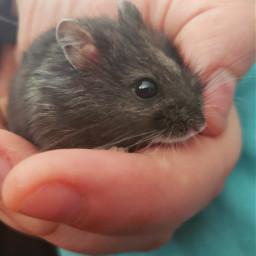 freetoedit myclick myclicks ripley hamster pcpicsartpets