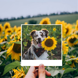 dog sunflowerselfie puppy flowers bordercollie freetoedit ecdreamdestinations dreamdestinations