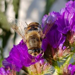 freetoedit bee flovers macro myphotography