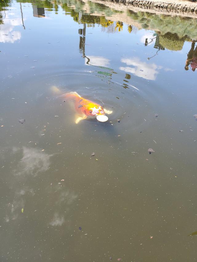 Oh my god a koy fish ate a cracker🤣 #koyfish #fish #fishy #madbylowkeyaethstic