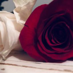 rose rosephotography redrose whiterose pcflowersnearyou flowersnearyou