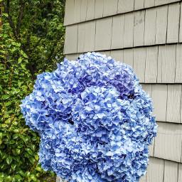 hydrangeas pcflowersnearyou flowersnearyou