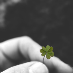 colorsplash clover fourleafclovers phonephotography phonegraphy freetoedit