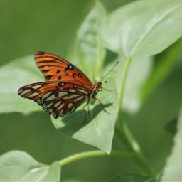 freetoedit butterfly butterflylove vividcolor beautyinnature