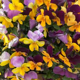 zoombackground flower flowers flowerart violin freetoedit