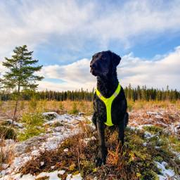 photography curlycoatedretriever finland landscape petsofpicsart