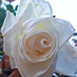 freetoedit rosewhite flower naturephotography photographybyme pcflowersnearyou flowersnearyou