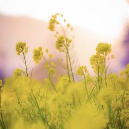 nature countryside yellow wildflowers simpleflowers freetoedit