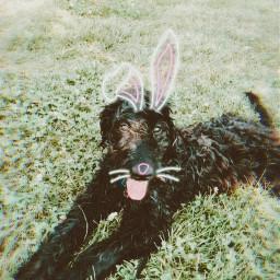 bunnystickers freetoedit srcbunnyears bunnyears