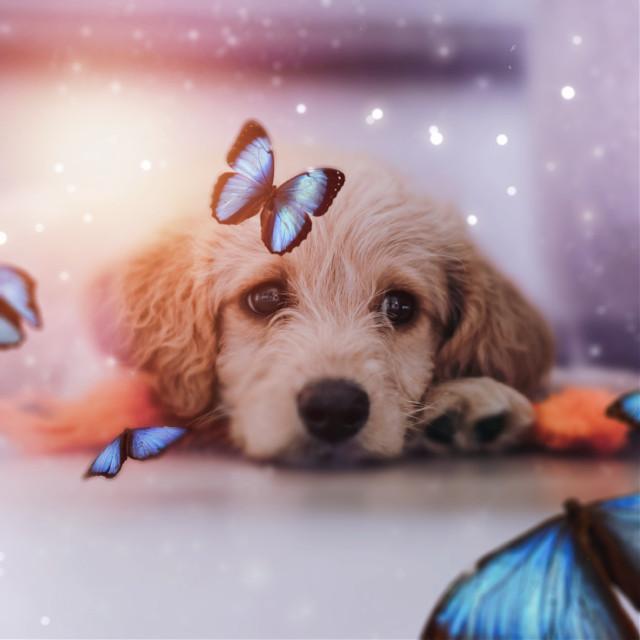 #freetoedit #dog #papicks #butterflies