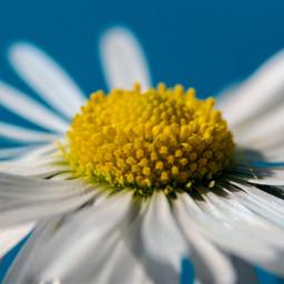 freetoedit photography macro flower daisy