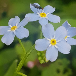 photography noedit tiny flower blue freetoedit
