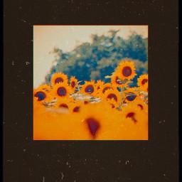 flowers sunflowers prequel dust