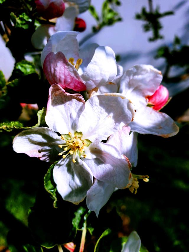 #freetoedit #spring #flower #natural #appletree