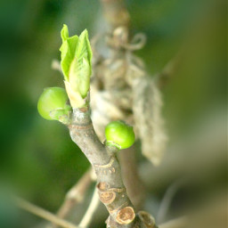 pictureoftheday myfigtree firstbuds firstleafs myfoto