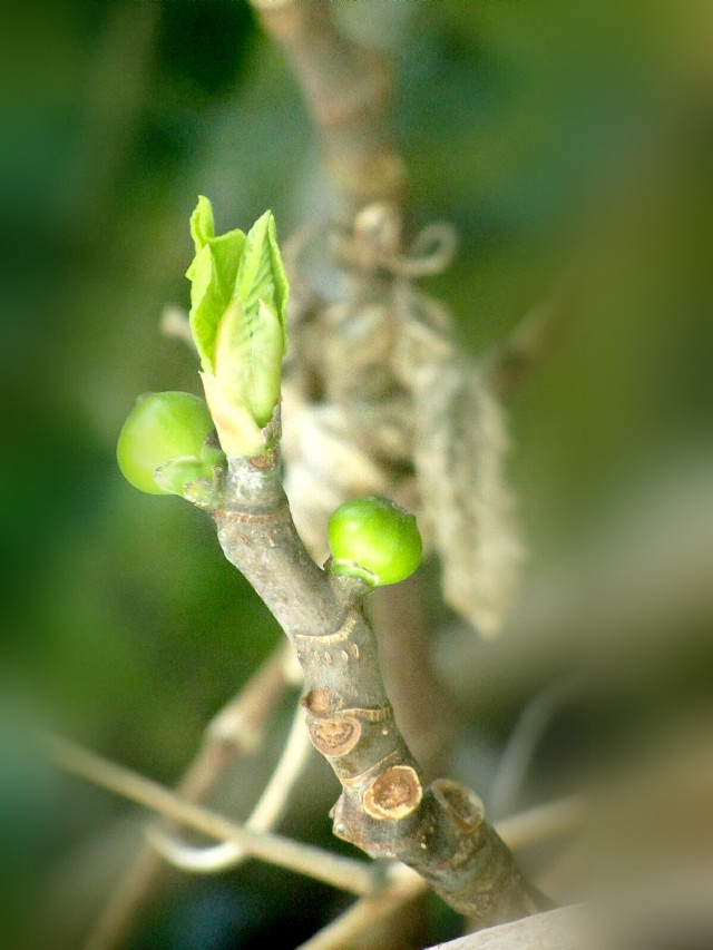 #pictureoftheday #myfigtree #firstbuds #firstleafs #myfoto