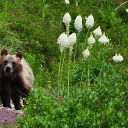 montana grizzlybear bearcub hikingadventure freetoedit