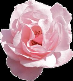 flower aesthetic pastel pink freetoedit