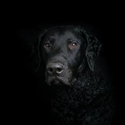 phoyography pets blackonblack curlycoatedretriever