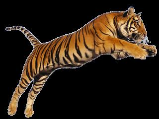 jungles jungle freetoedit tiger tigers