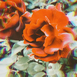 roses rose roseaesthetic aestheticred aesthetic