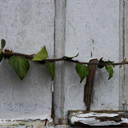 nature plant green olddoor door freetoedit