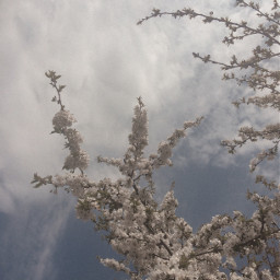 spring tree cherry cherrytree cherryblossom
