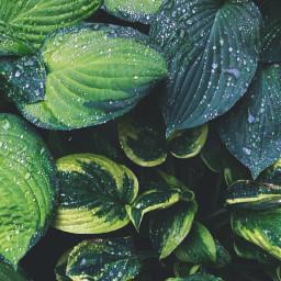 nature greenery greenplants waterdroplets leaves freetoedit