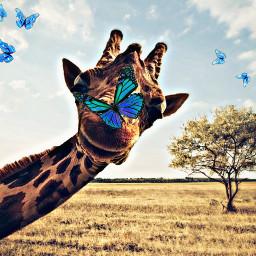 freetoedit giraffe butterflies bluebutterfly