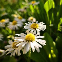 freetoedit daisy wildflower nature blossom