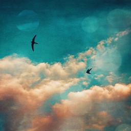 swallow bird flying sky clouds