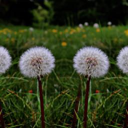 nature dandelions mirroreffect lowangle freetoedit