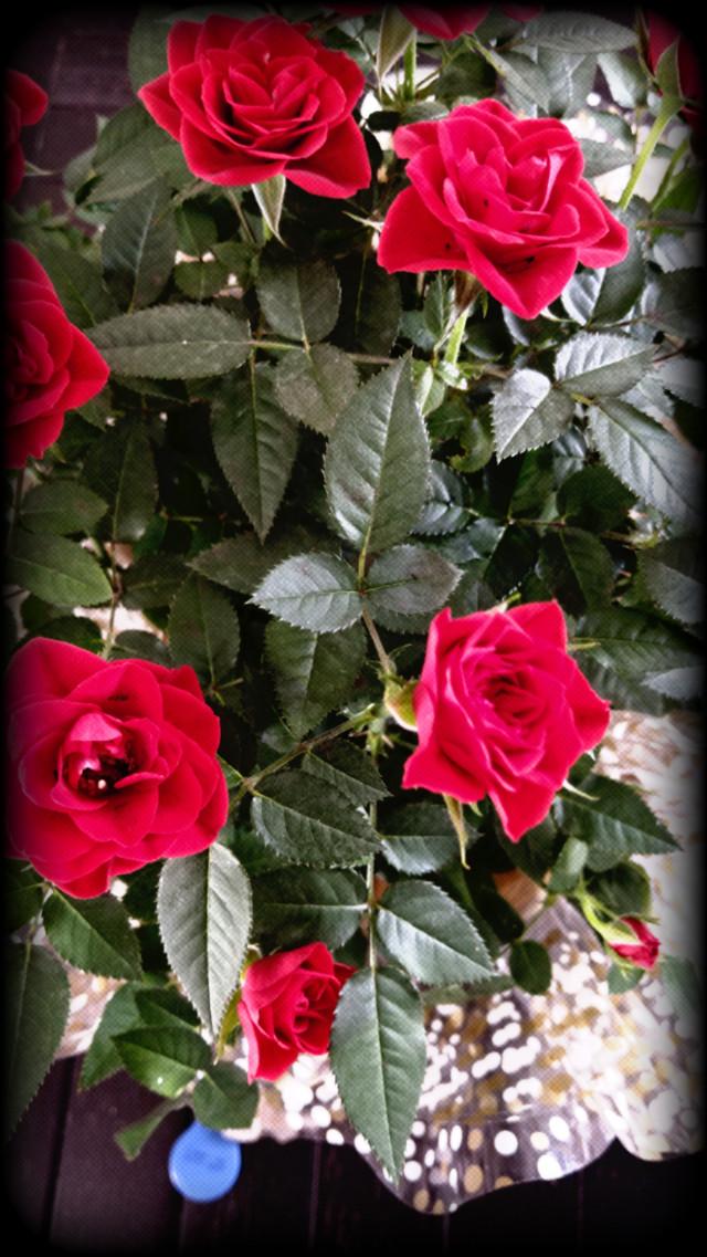 #littlerose #redrose #flower #nature #loveit