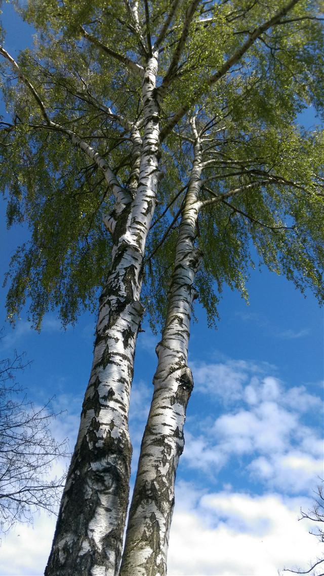 #naturephotography #tree #spring #may2020 #bluesky #clouds # #freetoedit  ##noedits