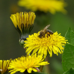 freetoedit followme bees dandelions insect