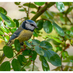birds bluetit nature animal freetoedit