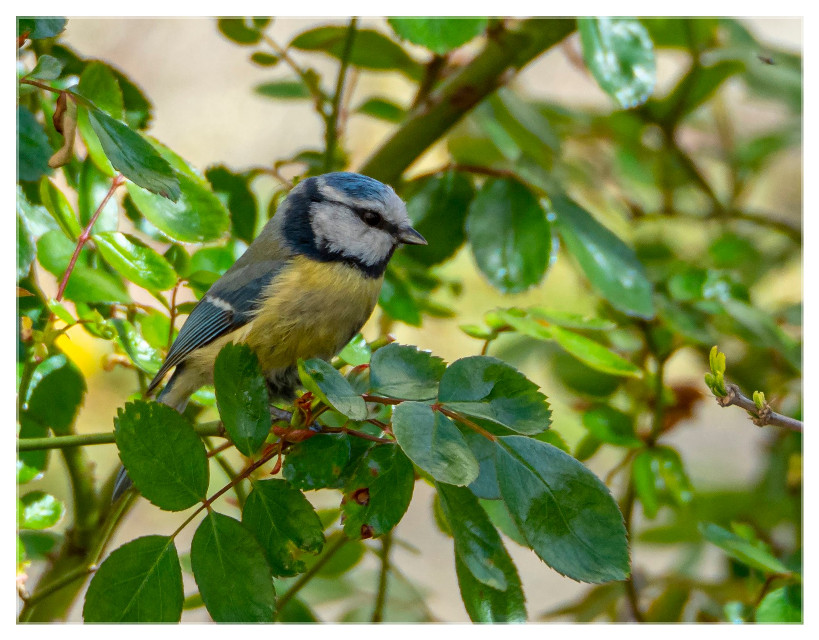 Blaumeise - Blue Tit  #birds #bluetit #nature #animal  #freetoedit