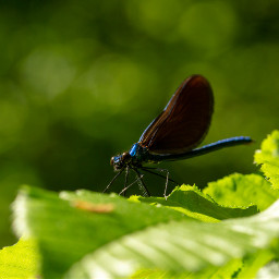 freetoedit photography nature dragonfly insect