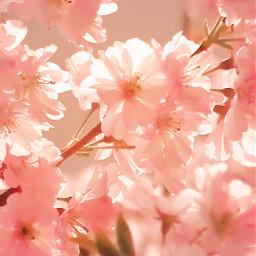 nature tree treebranches floweringtrees flowers freetoedit
