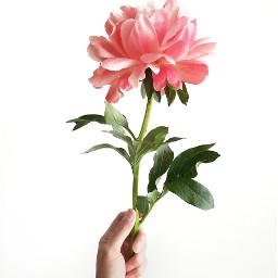 peony peonies flower flowerpower rose freetoedit