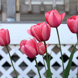 freetoedit tulips spring backgrounds focusonforeground
