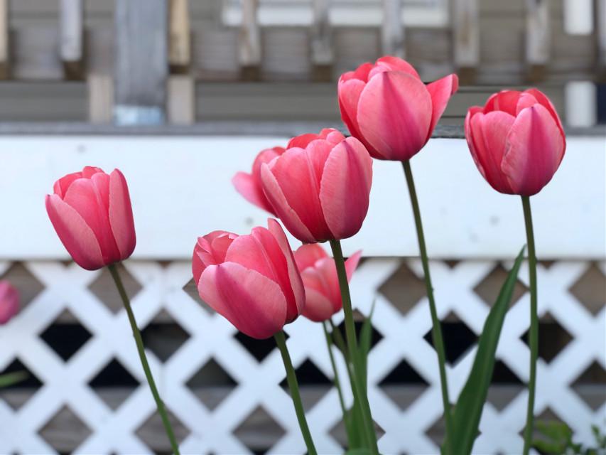 #freetoedit #tulips #spring #backgrounds #focusonforeground #neighborhood