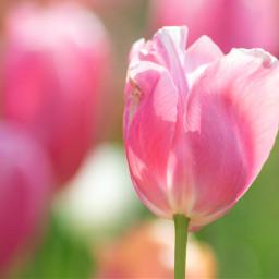 photography flower tulip pink closeup freetoedit