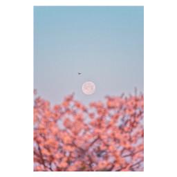 freetoedit cherryblossoms moon japan