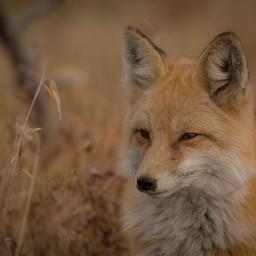 animaleye animaux renard freetoedit