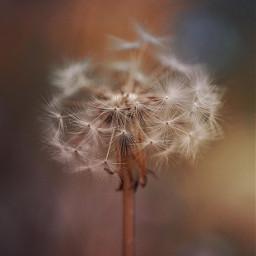 nature plantsandflowers wildflower dandelion closeup freetoedit