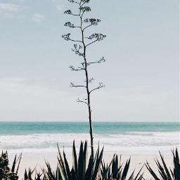 nature beachmood wildplants cactus cactustree freetoedit