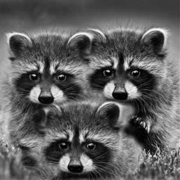 eccolorfulkaleidoscope colorfulkaleidoscope freetoedit cute raccoon
