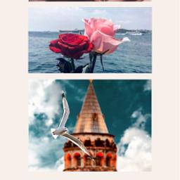 freetoedit bulutsadehanim galata galatatower roses